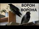Ворона Капля и Ворон Тиша - ИньЯнь