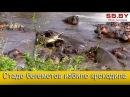 Крокодил против стада разъяренных бегемотов