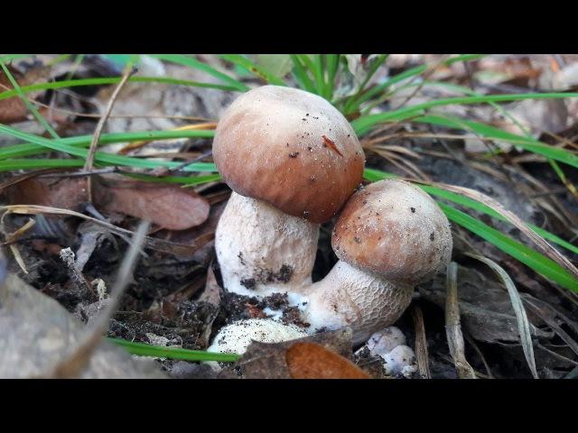Как грибы с красным дубом дружбу заводили :)