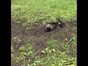 Dog rolls around in mud - 987468