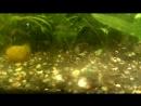 АкваМир - Пельвикахромис пульхер / Попугайчик (Pelvicachromis pulcher)