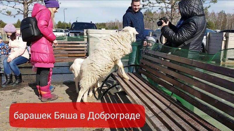 Ручной баранчик Бяша. Доброград. Выездная мини-ферма. Аренда животных