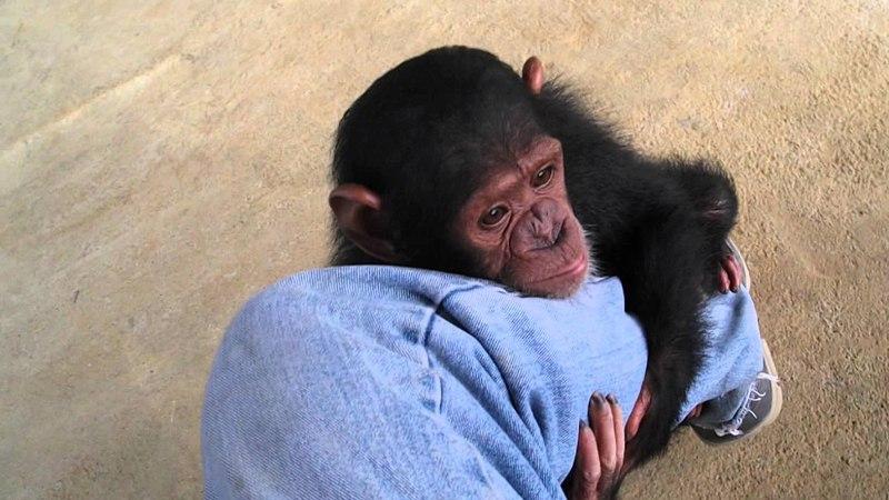 Baby Chimps Monkey Baby chimpanzee pet chimp 婴儿黑猩猩 chimpanzé bébé Детские шимпанзе chimpancé bebé