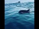 Большая стая дельфинов у берегов Сочи