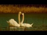 Андрей Морган - Два лебедя