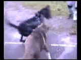 Volkodav CAO Vs. Nemeckij Dog