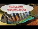 Цихлазома Чернополосая в аквариуме Содержание разведение совместимость