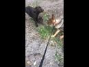 Собачьи бои без правил 😃