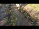 Алабай собачий бой Алматы. Дебютный бой