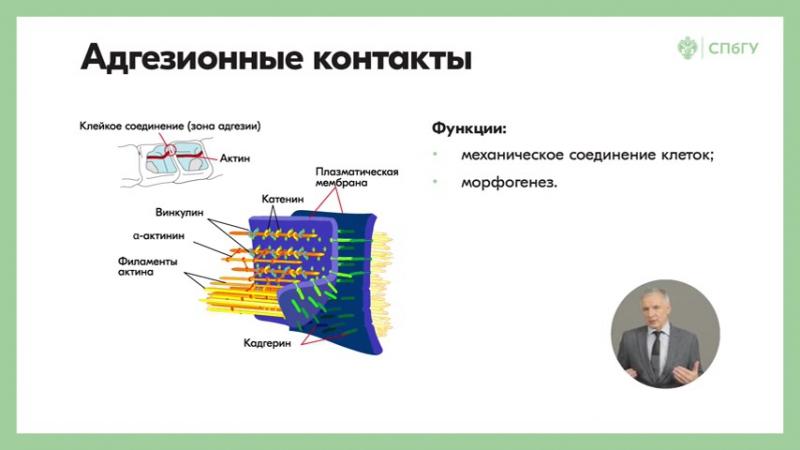 1.9 Физиология как наука. Внутренняя среда организма. Ионная асимметрия Межклеточные контакты и их функции. Силы Старлинга