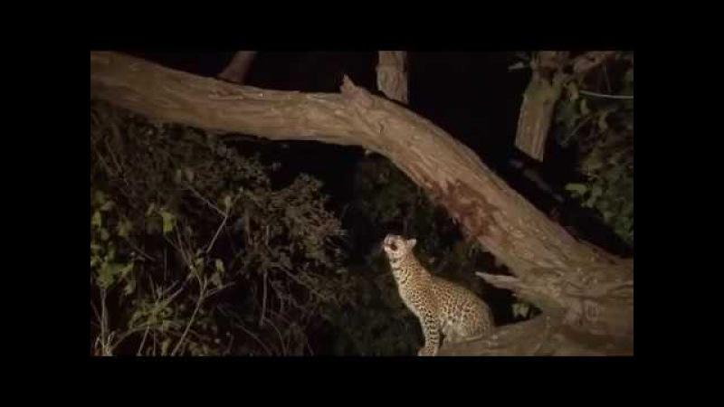 Леопард убивает бабуина маму, но спасает ее детёныша