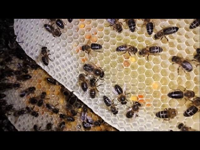 Desarrollo de colmena de abejas en estado natural2/2