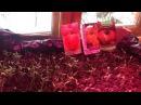 Выращивание холодостойких и урожайных томатов ( мой удачный эксперимент )