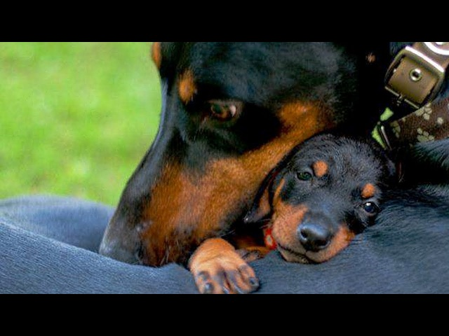 Dogs Protecting Their Babies - Dogs Protecting Puppies Compilation
