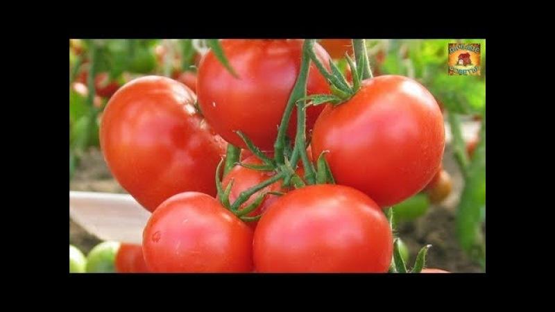 Ранние ТОМАТЫ Как получить УРОЖАЙ в ИЮНЕ Правила ухода за томатами Дачные ХИТРОСТИ и полезные СОВЕТЫ