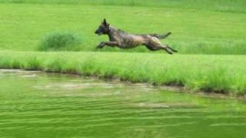 Dutch Shepherd Catching Big Air