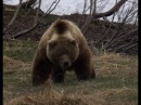 Атака и неожиданные встречи с медведем на охоте