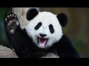 Фильм о Большой Панде - Мир диких животных - Документальный фильм