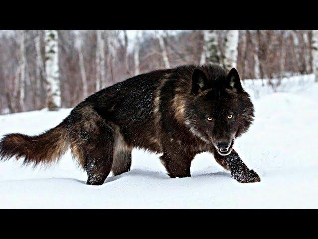 Лучший охотник в дикой природе - Волк. Путь альфа самца. Документальный фильм HD