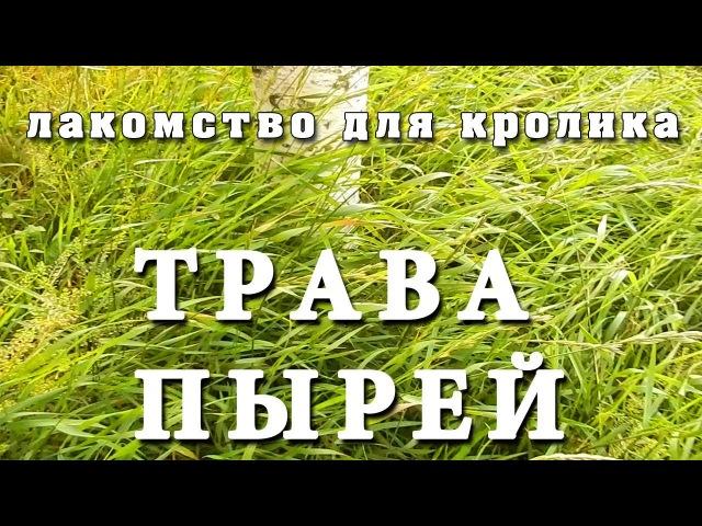 Пырей, трава - Лакомство для кролика (трава, grass)