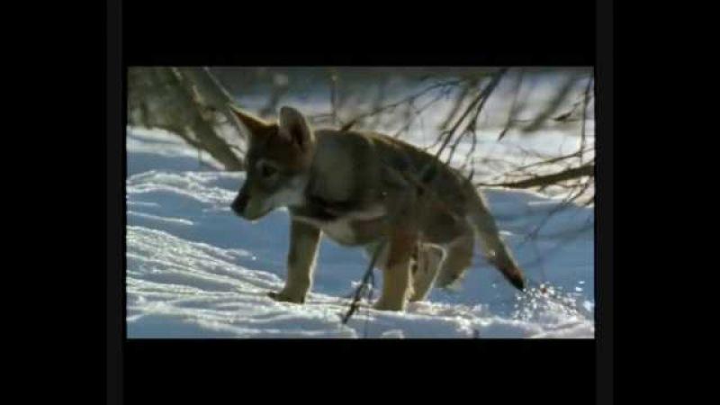 Vlk - White Fang (Bílý Tesák)