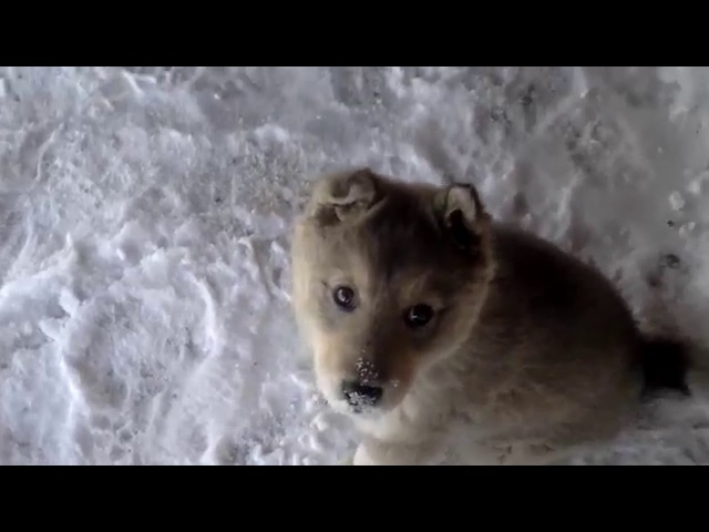 Щенок от западно-сибирской лайки и волка (3-го поколения).