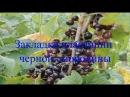 Закладка плантации черной смородины