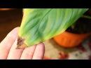 Сохнут кончики листьев Как применять гидрогель для растений