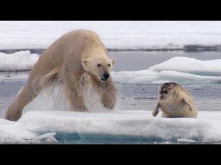 Голодный белый медведь охотится на тюленя (Hungry Polar Bear Ambushes Seal - The Hunt - BBC Earth)