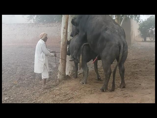 Big Buffalo Nafs with smal cow sharmgah full video -بھینسے نے بھینس کی سیل کھول دی