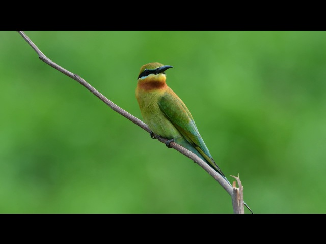Blue-tailed Bee-eater Синехвостая щурка Merops philippinus