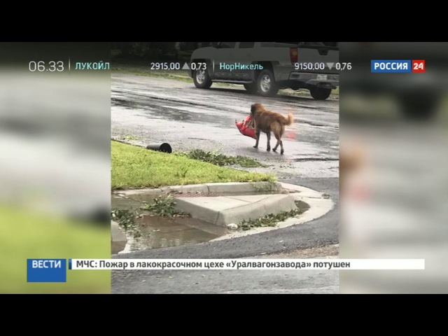 Новости на «Россия 24» • Сезон • Находчивый пес, спасающийся от урагана Харви, стал героем Интернета