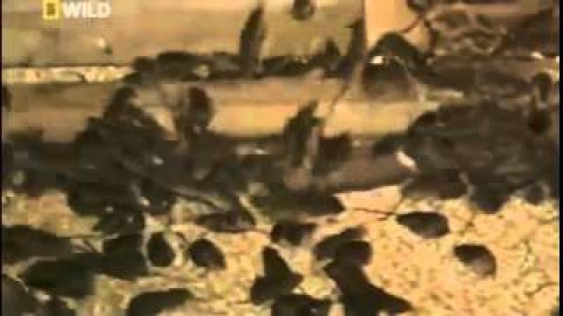 Нашествие мышей в Австралии