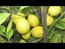 Комнатный лимон сбросил листья. Как помочь?