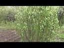 Мой сад. Фильм первый. Ирга