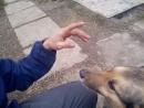 щенки эстонской гончей с дворнягой