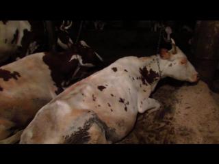 Обращение за помощью от Татьяны Раутанен, зоотехника ООО Молочная ферма Пряжинская