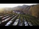 Чайные плантации на мацестинских склонах