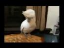 Опа попугай зажигает под клип гангам стайл