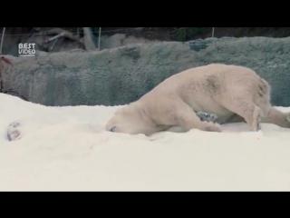 Белый медведь впервые видит снег