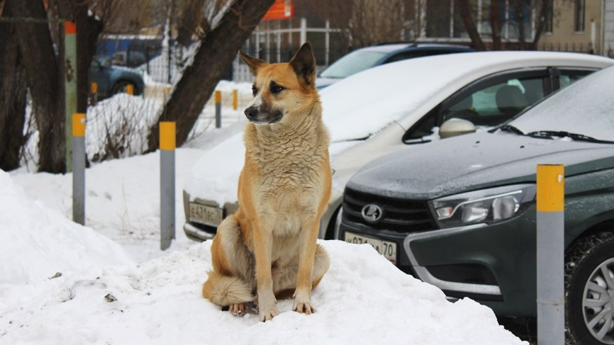Томск потратит 7,5 миллионов рублей на отлов и содержание бродячих собак