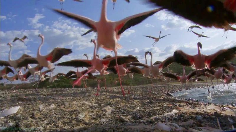 BBC «Земной полёт (2). Африка» (Познавательный, природа, орнитология, животные, 2012)