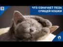 Что означает поза спящей кошки