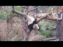 Панды в нац. парке BiFengXia №3