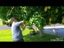 Hmong FL mango picking 7 22 16