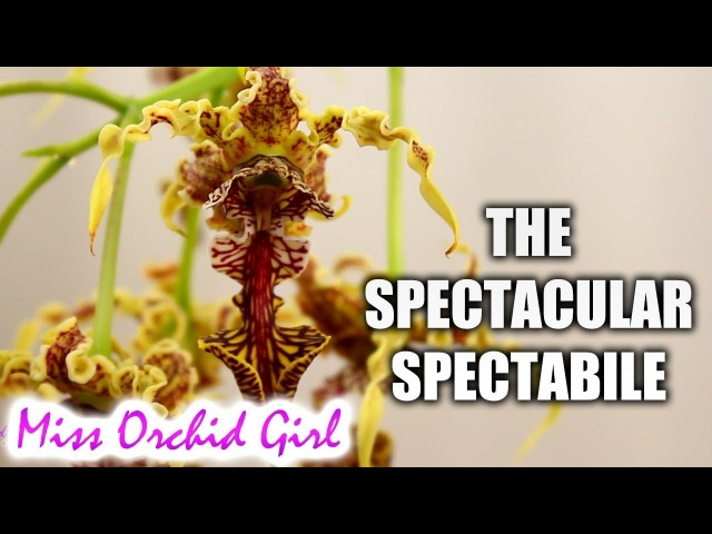 The spectacular Dendrobium spectabile Orchid! Care tips