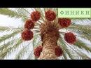 Благословенные плоды олива финики инжир