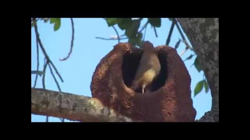 Печник, хохлатая ( руфус ) строит гнездо.