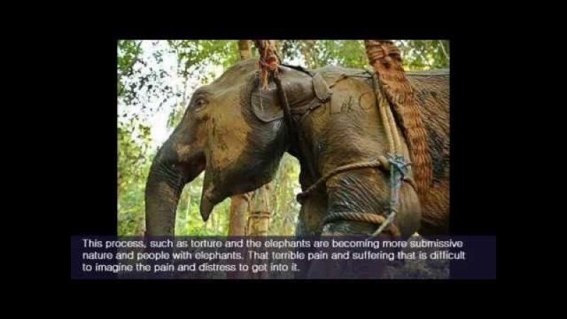 ЖЕСТОКОСТЬ К СЛОНАМ РАДИ КАТАНИЯ ТУРИСТОВ И ЦИРКА Brutal phajaan elephant training
