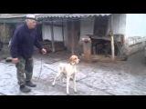 Азы дрессировки легавой от С.И.Тараненко